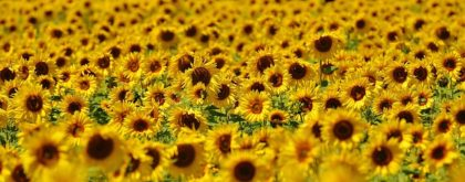 A field of flowers blooming.